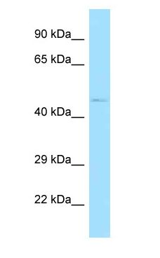 PSKH1 antibody Western Blot of Mouse Heart.  This image was taken for the unconjugated form of this product. Other forms have not been tested.