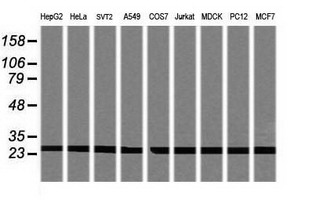 Western blot of extracts (35 ug) from 9 different cell lines by using g anti-PSMA2 monoclonal antibody (HepG2: human; HeLa: human; SVT2: mouse; A549: human; COS7: monkey; Jurkat: human; MDCK: canine; PC12: rat; MCF7: human).