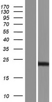 PSMA4 Protein - Western validation with an anti-DDK antibody * L: Control HEK293 lysate R: Over-expression lysate
