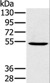 Western blot analysis of 293T cell, using PSMC1 Polyclonal Antibody at dilution of 1:350.