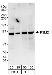 Detection of Human PSMD1 by Western Blot. Samples: Whole cell lysate from 293T (15 and 50 ug), HeLa (H; 50 ug), and Jurkat (J; 50 ug) cells. Antibodies: Affinity purified rabbit anti-PSMD1 antibody used for WB at 0.1 ug/ml. Detection: Chemiluminescence with an exposure time of 3 minutes.