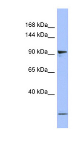 PSMD1 Antibody - PSMD1 antibody Western blot of Placenta lysate.  This image was taken for the unconjugated form of this product. Other forms have not been tested.