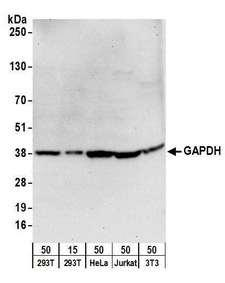 PSMD1 Antibody - Detection of human and mouse GAPDH by western blot. Samples: Whole cell lysate from HEK293T (15 and 50 µg), HeLa (50µg), Jurkat (50µg), and mouse NIH 3T3 (50µg) cells. Antibodies: Affinity purified goat anti-GAPDH antibody used for WB at 1 µg/ml. Detection: Chemiluminescence with an exposure time of 30 seconds.