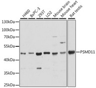 PSMD11 Antibody - Western blot analysis of extracts of various cell lines, using PSMD11 antibody at 1:2000 dilution. The secondary antibody used was an HRP Goat Anti-Rabbit IgG (H+L) at 1:10000 dilution. Lysates were loaded 25ug per lane and 3% nonfat dry milk in TBST was used for blocking. An ECL Kit was used for detection and the exposure time was 5s.