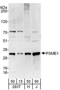 Detection of Human PSME1 by Western Blot. Samples: Whole cell lysate from 293T (15 and 50 ug), HeLa (H; 50 ug), and Jurkat (J; 50 ug) cells. Antibodies: Affinity purified rabbit anti-PSME1 antibody used for WB at 0.4 ug/ml. Detection: Chemiluminescence with an exposure time of 3 minutes.