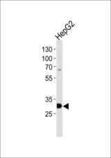 Western blot of lysate from HepG2 cell line, using PSME2 Antibody. Antibody was diluted at 1:1000 at each lane. A goat anti-rabbit IgG H&L (HRP) at 1:5000 dilution was used as the secondary antibody. Lysate at 35ug per lane.