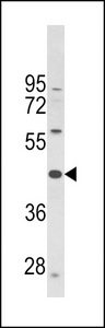 PTAR1 Antibody - Western blot of PTAR1 Antibody in CEM cell line lysates (35 ug/lane). PTAR1 (arrow) was detected using the purified antibody.