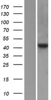 PTAR2 / FNTA Protein - Western validation with an anti-DDK antibody * L: Control HEK293 lysate R: Over-expression lysate