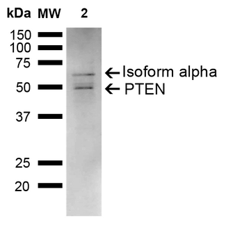 PTEN Antibody - Western blot analysis of Rat Liver showing detection of ~47.2 kDa PTEN protein using Rabbit Anti-PTEN Polyclonal Antibody. Lane 1: Molecular Weight Ladder (MW). Lane 2: Rat Liver. Load: 15 µg. Block: 5% Skim Milk in 1X TBST. Primary Antibody: Rabbit Anti-PTEN Polyclonal Antibody  at 1:1000 for 2 hours at RT. Secondary Antibody: Goat Anti-Rabbit IgG: HRP at 1:3000 for 1 hour at RT. Color Development: ECL solution for 5 min at RT. Predicted/Observed Size: ~47.2 kDa. Other Band(s): 67 kDa.