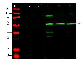 PTENP1 Antibody - Western blot using the affinity purified anti-PTEN-P1 antibody shows detection of endogenous PTEN-P1 in whole cell lysates from human derived cell lines HeLa (lane 4), HEK293 (lane 5) and MCF7 (lane 6).  The band at ~55 kDa (arrowhead) corresponds to PTEN-P1.  Lanes 1-3 were show the results of staining after the antibody was first pre-incubated with the immunizing peptide.  The identity of lower molecular weight bands in lane 4 is unknown.  Briefly, each lane contains approximately 35 µg of lysate.  Primary antibody was used at a 1:500 dilution in 5% BLOTTO in PBS reacted overnight at 4°C.  The membrane was washed and reacted with a 1:10,000 dilution of conjugated Gt-a-Rabbit IgG [H&L] MX for 45 min at room temperature (800 nm channel, green).   Molecular weight estimation was made by comparison to prestained MW markers in lane M (700 nm channel, red). Fluorescence image was captured using the Odyssey Infrared Imaging System developed by LI-COR. Other detection systems will yield similar results.