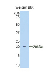 Western blot of recombinant PTF1A.  This image was taken for the unconjugated form of this product. Other forms have not been tested.