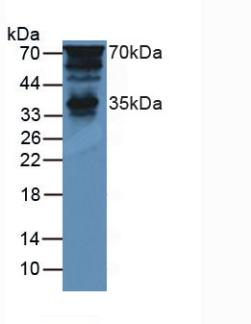 PTF1A Antibody - Western Blot; Sample: Mouse Brain Tissue.