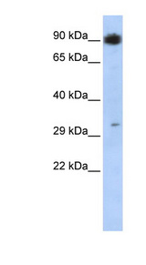 PTF1A antibody Western blot of MCF7 cell lysate. This image was taken for the unconjugated form of this product. Other forms have not been tested.