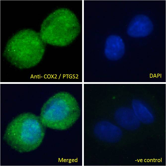 Immunofluorescence analysis of paraformaldehyde fixed HepG2 cells, permeabilized with 0.15% Triton. Primary incubation 1hr (10ug/ml) followed by Alexa Fluor 488 secondary antibody (2ug/ml), showing cytoplasmic/vesicle staining. The nuclear stain i