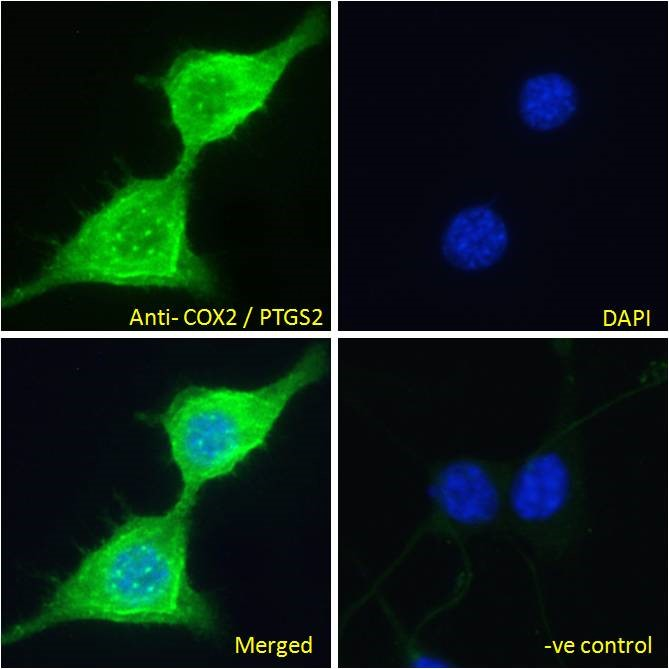 Immunofluorescence analysis of paraformaldehyde fixed NIH3T3 cells, permeabilized with 0.15% Triton. Primary incubation 1hr (10ug/ml) followed by Alexa Fluor 488 secondary antibody (2ug/ml), showing cytoplasm and vesicle staining. The nuclear sta