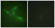 Immunofluorescence analysis of NIH/3T3 cells, using Breast Tumor Kinase (Phospho-Tyr447) Antibody. The picture on the right is blocked with the phospho peptide.