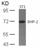Western blot of extracts from 3T3 cells using SHP-2(Ab-542) antibody.