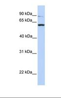 PTPRA / RPTP-Alpha Antibody - 293T cell lysate. Antibody concentration: 1.0 ug/ml. Gel concentration: 12%.  This image was taken for the unconjugated form of this product. Other forms have not been tested.