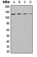 Western blot analysis of PTP alpha expression in HT29 (A); A549 (B); Raw264.7 (C); NIH3T3 (D) whole cell lysates.
