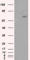 HEK293T cells were transfected with the pCMV6-ENTRY control (Left lane) or pCMV6-ENTRY PTPRE (Right lane) cDNA for 48 hrs and lysed. Equivalent amounts of cell lysates (5 ug per lane) were separated by SDS-PAGE and immunoblotted with anti-PTPRE.