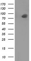 PTPRE / PTP Epsilon Antibody - HEK293T cells were transfected with the pCMV6-ENTRY control (Left lane) or pCMV6-ENTRY PTPRE (Right lane) cDNA for 48 hrs and lysed. Equivalent amounts of cell lysates (5 ug per lane) were separated by SDS-PAGE and immunoblotted with anti-PTPRE.