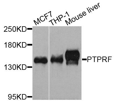Western blot blot of extracts of various cells, using PTPRF antibody.
