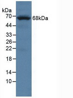 Western Blot; Sample: Mouse Brain Tissue.