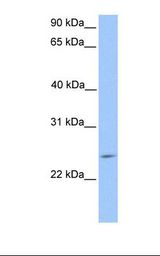 PTTG2 Antibody - HepG2 cell lysate. Antibody concentration: 1.0 ug/ml. Gel concentration: 12%.  This image was taken for the unconjugated form of this product. Other forms have not been tested.