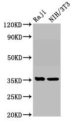Western Blot Positive WB detected in: Raji whole cell lysate, NIH/3T3 whole cell lysate All Lanes: NECTIN4 antibody at 5.9µg/ml Secondary Goat polyclonal to rabbit IgG at 1/50000 dilution Predicted band size: 56, 25 KDa Observed band size: 35 KDa