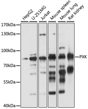 PXK Antibody - Western blot analysis of extracts of various cell lines, using PXK antibody at 1:1000 dilution. The secondary antibody used was an HRP Goat Anti-Rabbit IgG (H+L) at 1:10000 dilution. Lysates were loaded 25ug per lane and 3% nonfat dry milk in TBST was used for blocking. An ECL Kit was used for detection and the exposure time was 10s.