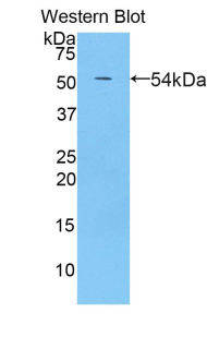 PZP Antibody - Western blot of recombinant PZP.  This image was taken for the unconjugated form of this product. Other forms have not been tested.