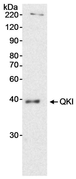 Detection of Human QKI by Western Blot. Sample: Nuclear extract (20 ug) from HeLa cells. Antibody: Affinity purified rabbit anti-QKI antibody used at 0.2 ug/ml. Detection: Chemiluminescence with an exposure time of 15 minutes.
