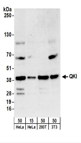 Detection of Human and Mouse QKI by Western Blot. Samples: Whole cell lysate from HeLa (15 and 50 ug), 293T (50 ug), and mouse NIH3T3 (50 ug) cells. Antibodies: Affinity purified rabbit anti-QKI antibody used for WB at 0.04 ug/ml. Detection: Chemiluminescence with an exposure time of 3 minutes.