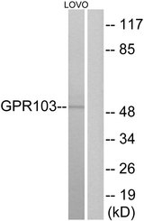 Western blot analysis of lysates from LOVO cells, using GPR103 Antibody. The lane on the right is blocked with the synthesized peptide.