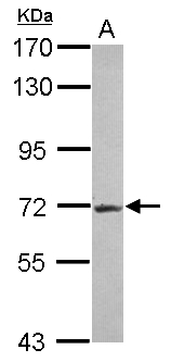 R3HDM2 Antibody - Sample (30 ug of whole cell lysate) A: Jurkat 7.5% SDS PAGE R3HDM2 antibody diluted at 1:1000