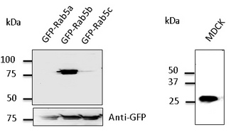 Western blot. Anti-Rab5b antibody at 1:500 dilution. 293 cells transfected with GFP-Rab5. Lysates at 50 ug per lane. Rabbit polyclonal to goat IgG (HRP) at 1:10000 dilution.