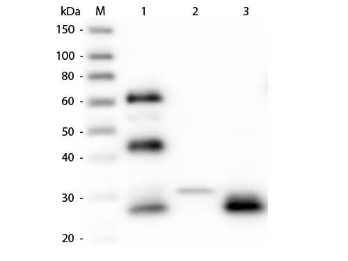 Chicken IgY Fab'2 Antibody - Western Blot of Anti-Chicken IgG F(ab')2 (RABBIT) Antibody  Lane M: 3 µl Molecular Ladder. Lane 1: Chicken IgG whole molecule  Lane 2: Chicken IgG F(c) Fragment  Lane 3: Chicken IgG F(ab) Fragment  All samples were reduced. Load: 50 ng per lane.