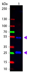 Goat IgG Antibody - Western Blot of rabbit anti-Goat IgG Atto488 Conjugated Antibody. Lane 1: Goat IgG. Lane 2: None. Load: 50 ng per lane. Primary antibody: None. Secondary antibody: Atto488 rabbit secondary antibody at 1:1,000 for 60 min at RT. Block: MB-070 for 30 min at RT. Predicted/Observed size: 28 & 55 kDa, 28 & 55 kDa for Goat IgG. Other band(s): None.