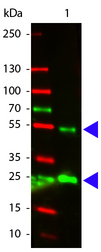 Western Blot of Atto 532 conjugated Rabbit anti-Goat IgG antibody. Lane 1: Goat IgG. Lane 2: none. Load: 50 ng per lane. Primary antibody: none. Secondary antibody: Atto 532 rabbit secondary antibody at 1:1000 for 60 min at RT. Block: MB-070 for 30 min at RT. Predicted/Observed size: 50 kDa, 25 kDa for Goat IgG. Other band(s): none. This image was taken for the unconjugated form of this product. Other forms have not been tested.