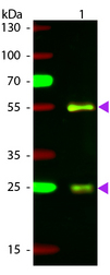 Goat IgG Antibody - Western Blot of Atto 594 Conjugated Rabbit Anti-Goat IgG Pre-Absorbed Secondary Antibody. Lane 1: Goat IgG. Lane 2: None. Load: 50 ng per lane. Primary antibody: None. Secondary antibody: Atto 594 rabbit secondary antibody at 1:1,000 in MB-070 for 60 min at RT. Block: MB-070 for 30 min at RT. Predicted/Observed size: 28 & 55 kDa, 28 & 55 kDa for Goat IgG. Other band(s): None.