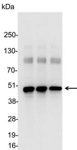Detection of HA-tagged fusion protein in 200, 100, and 50ng of E. coli cell lysate