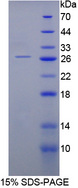 CNTF Protein - Recombinant  Ciliary Neurotrophic Factor By SDS-PAGE