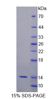 S100A8 / MRP8 Protein - Recombinant  S100 Calcium Binding Protein A8 By SDS-PAGE
