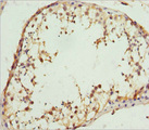 Immunohistochemistry of paraffin-embedded humantestis tissue at dilution 1:100
