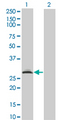 Western blot of RAD1 expression in transfected 293T cell line by RAD1 monoclonal antibody (M01), clone 1G2.