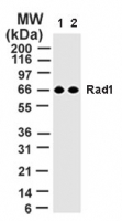 RAD1 Antibody - The anti-Rad1 rabbit PcAb was diluted at 2 ug/ml (lane 1) and 1 ug/ml (lane 2) and tested against 10 ug of 293 cell lysate by western blotting. A single band at 66 kD is detected.
