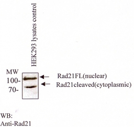 RAD21 Antibody - Western blot with monoclonal anti-Rad21 in HEK293 lysates.  This image was taken for the unconjugated form of this product. Other forms have not been tested.
