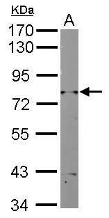 RAD3 Antibody - Sample (10 ug of whole cell lysate) A: Yeast lysate 7.5% SDS PAGE RAD3 antibody diluted at 1:2000