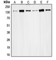 Western blot analysis of RAD50 expression in HeLa (A); K562 (B); Jurkat (C); MCF7 (D); Ramos (E); SW480 (F) whole cell lysates.