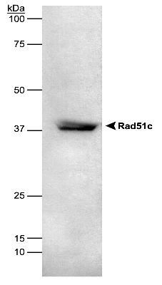 Rad51C detected in HEK293 lysate using LS-C2863.  This image was taken for the unconjugated form of this product. Other forms have not been tested.